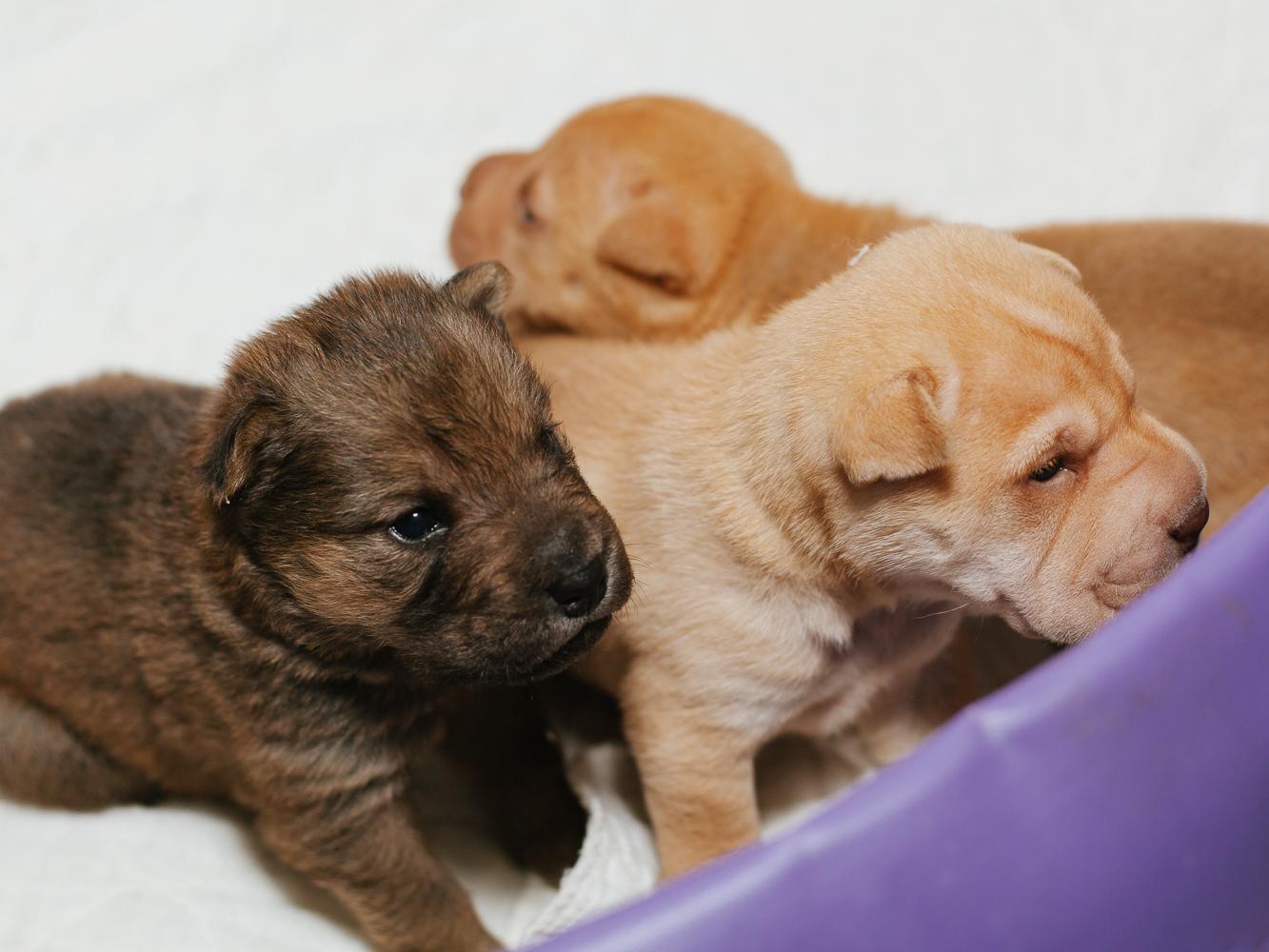 Shar Pei Dogs For Adoption